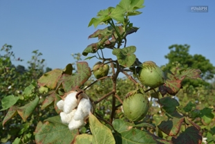 cotton - Unli in the Philippines